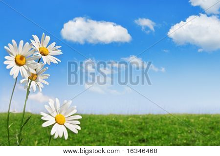 chamomile, sky and grass field