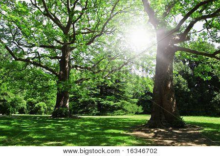 bosque de robles de verano y la luz del sol