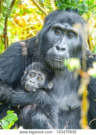 Mountain gorilla family - baby with mother in the forest, Uganda, Africa.