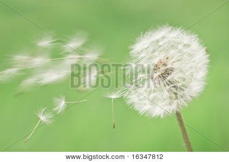 dandelion on green grass background