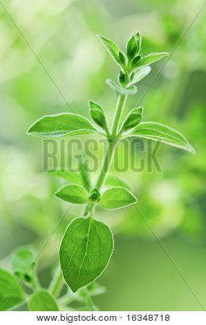 fresh green oregano close up