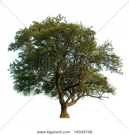 árbol verde, aislado en blanco