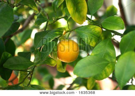 Miniature Orange On Tree