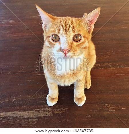 Portrait thai cat  animal  eyes  pretty  kitty