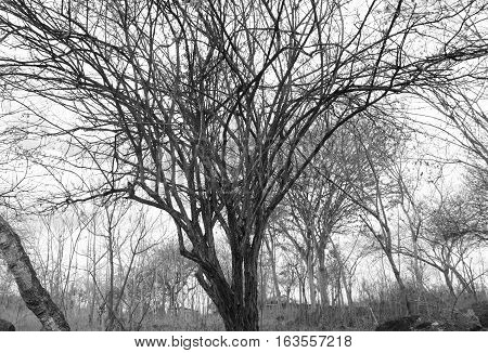 Tree black and dry without leaves between fog