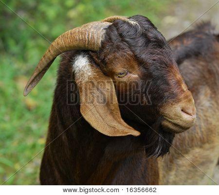 goat - South African Boer buck portrait - color is called Kalahari