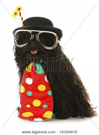 dog dressed like a clown - corded puli wearing clown costume on white background
