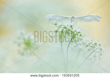 White butterfly on soft background. White plume moths Pterophorus pentadactyla in soft focus