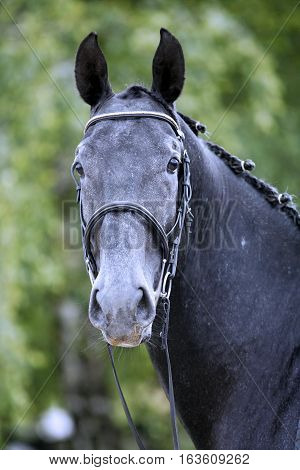 Lipizzaner Stallion With Braided Mane On Beautiful Animal Farm Summertime