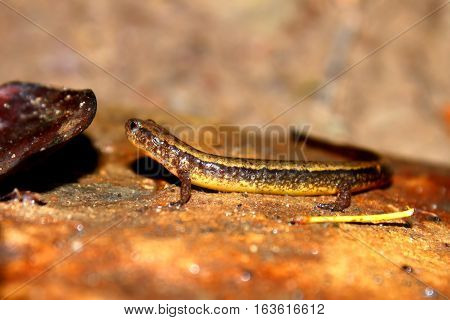 Southern Two-lined Salamander (Eurycea cirrigera) in an Indiana stream