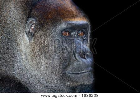 Animal Ape Gorilla Silverback_02