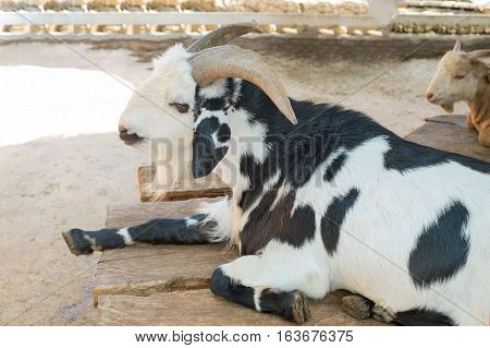 The black and white goat is sitting on table