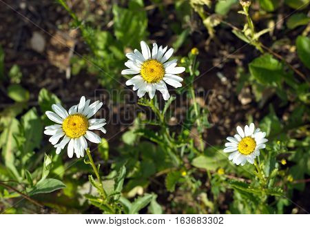 Three field daisy flowers grows in summer day. Horizontal view closeup
