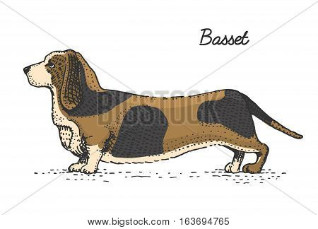 dog breeds engraved, hand drawn vector illustration in woodcut scratchboard style, vintage species. basset hound