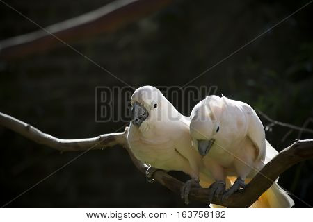 Two salmon-crested cockatoos on a bare limb