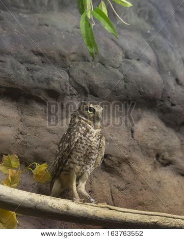 Burrowing owl perched on a branch near rocks