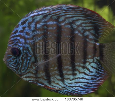 Close up of a blue discus fish (Symphysodon aequifasciatus)