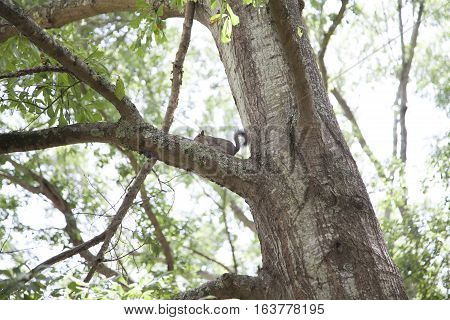Eastern gray squirrels mating in a tree