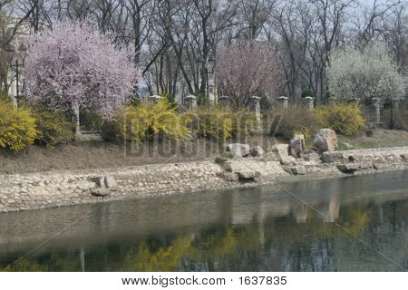Riverside Sakura Flower Tree