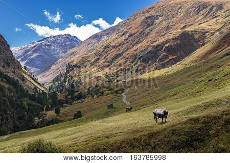 Tyrol Grey or Tyrolean Grey alpine cattle milk cows on pasture. Colored hills big mountains. Autumn in Vent Alps Austria Europe.