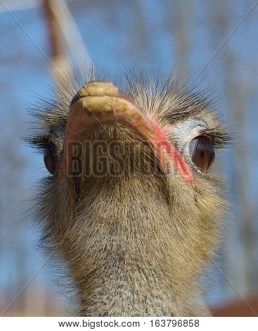 ostrich bird portrait at zoo in sunny day