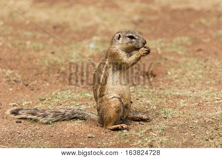 African ground squirrel (Marmotini) portrait eating a nut