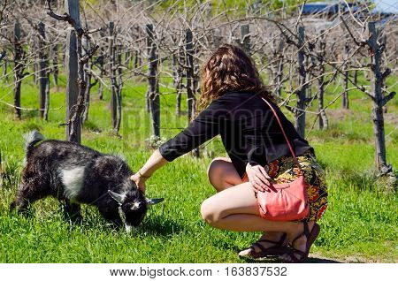 Young woman petting grey baby goat kid chewing grass