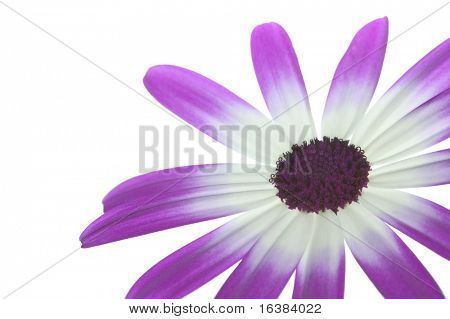 Flower 'Senetti Magenta Bi-Color' isolated on white, lower right of frame.