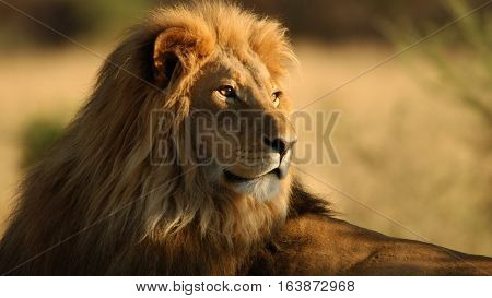 The lion (Panthera leo) is one of the big cats in the genus Panthera