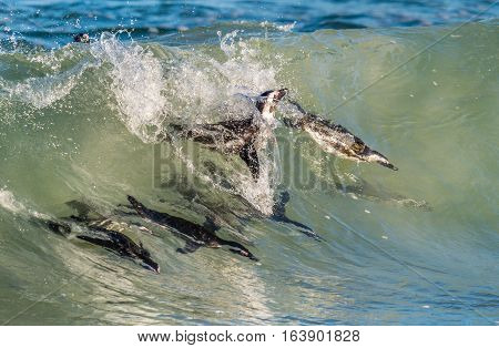 African Penguins Swimming In Ocean Wave. The African Penguin (spheniscus Demersus), Also Known As Th