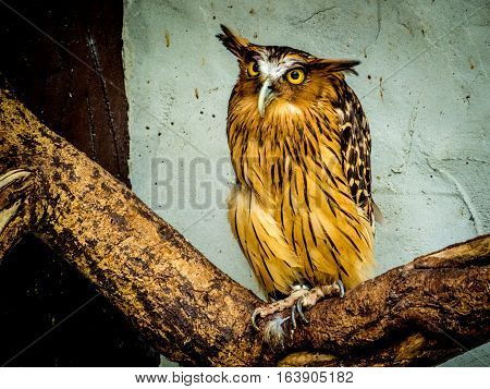 Buffy Fish Owl portrait, close up of yellow eyes