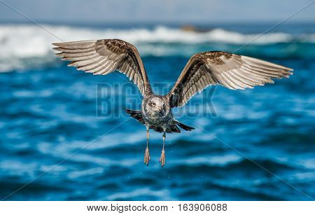 Flying Juvenile Kelp gull (Larus dominicanus) also known as the Dominican gull and Black Backed Kelp Gull. Natural blue ocean water background. False Bay South Africa