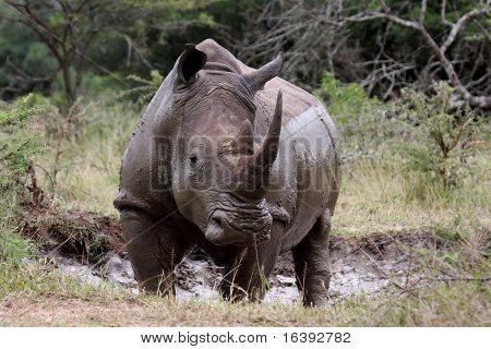 Weiße Rhinocerous.