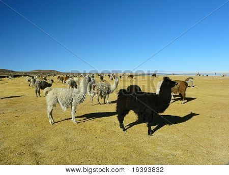 Llamas and alpacas