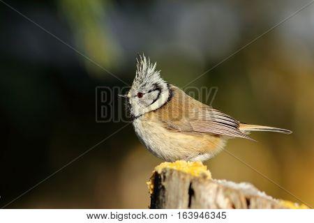 beautiful european crested tit standing on wooden stump ( Lophophanes cristatus )