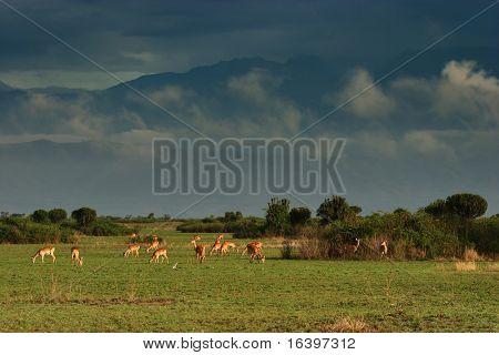 Troop of antelopes in african savanna