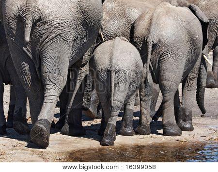Manada de elefantes, N.P. Chobe, Botswana