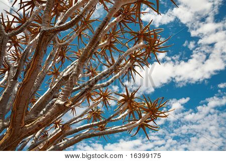 Branches of quiver tree (Aloe dichotoma) against blue sky background, South Namibia