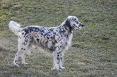 image of english setter  - Beautifully groomed English Setter with grass background  - JPG