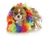 foto of hula dancer  - puppy dressed like a hula dancer  - JPG