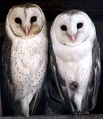 Animal - Barn Owl
