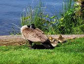 Mama Goose And Babies Napping poster
