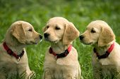 picture of triplets  - three dog puppies of golden retriever in a meadow - JPG