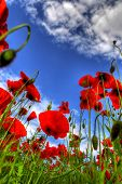 field of red poppies viewed from a very low angle