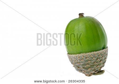acorn isolated on white background, concept , newlife