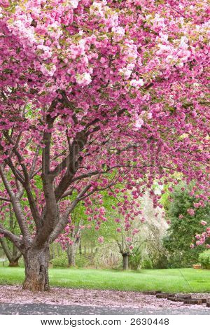 Pink Flowering Cherry Trees