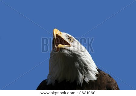 Bald Eagle Speaks