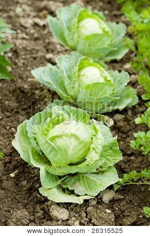 Agriculture with cabbages