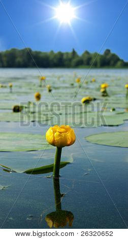 water lily blossoms
