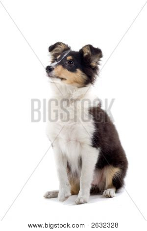 Shetland Dog'S Posing And Looking Up